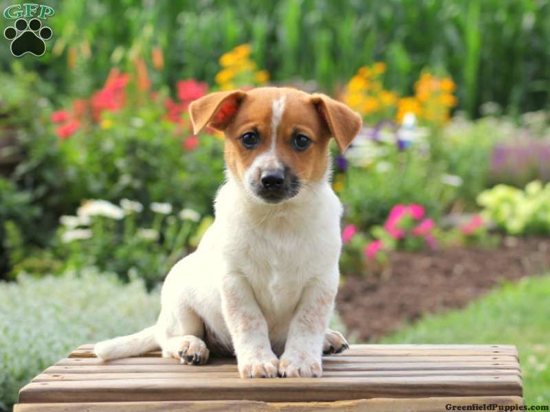 Jack Russell Mix Puppies For Sale Jack russell puppies