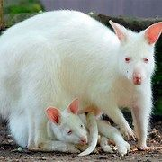 Photo of Endangered Albino Animals