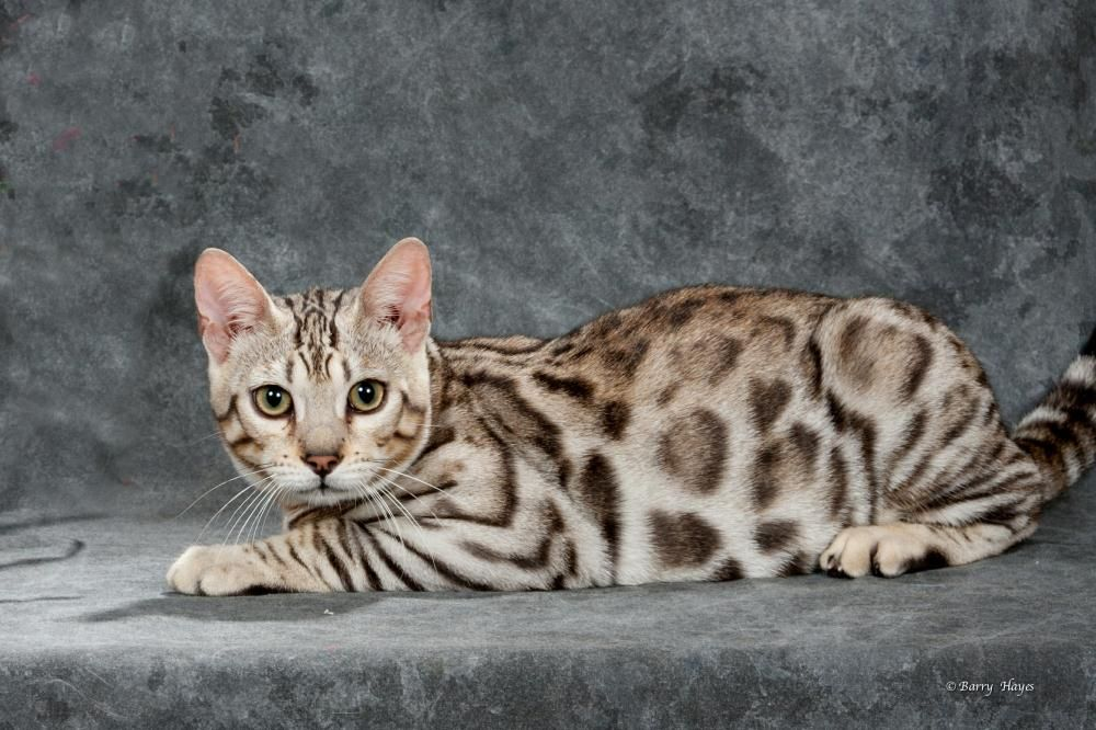 Cavscount Bengals Ma Bengal Kitten Bengal Kittens For Sale