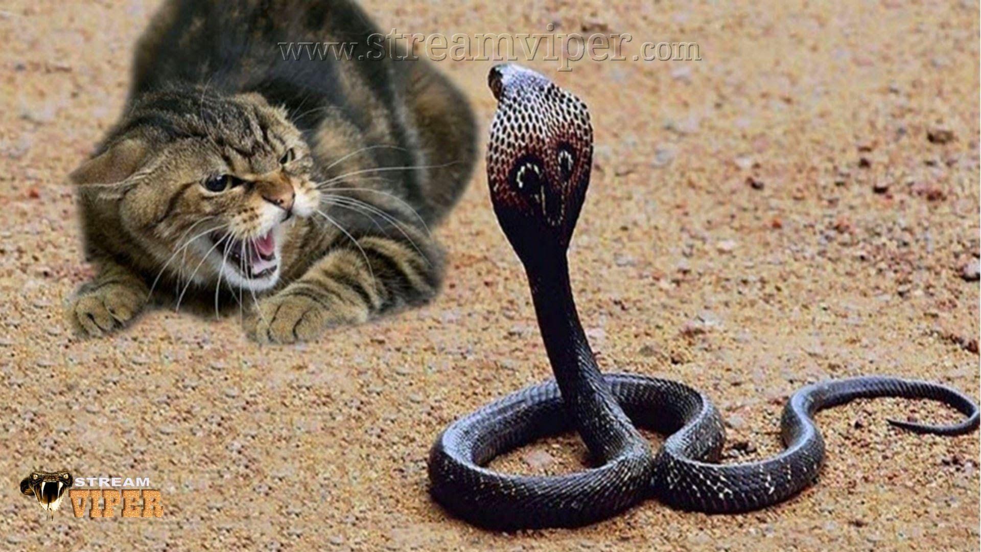 King Cobra Snake Vs Tiger Cubs, Monkey, Mongoose,Komodo
