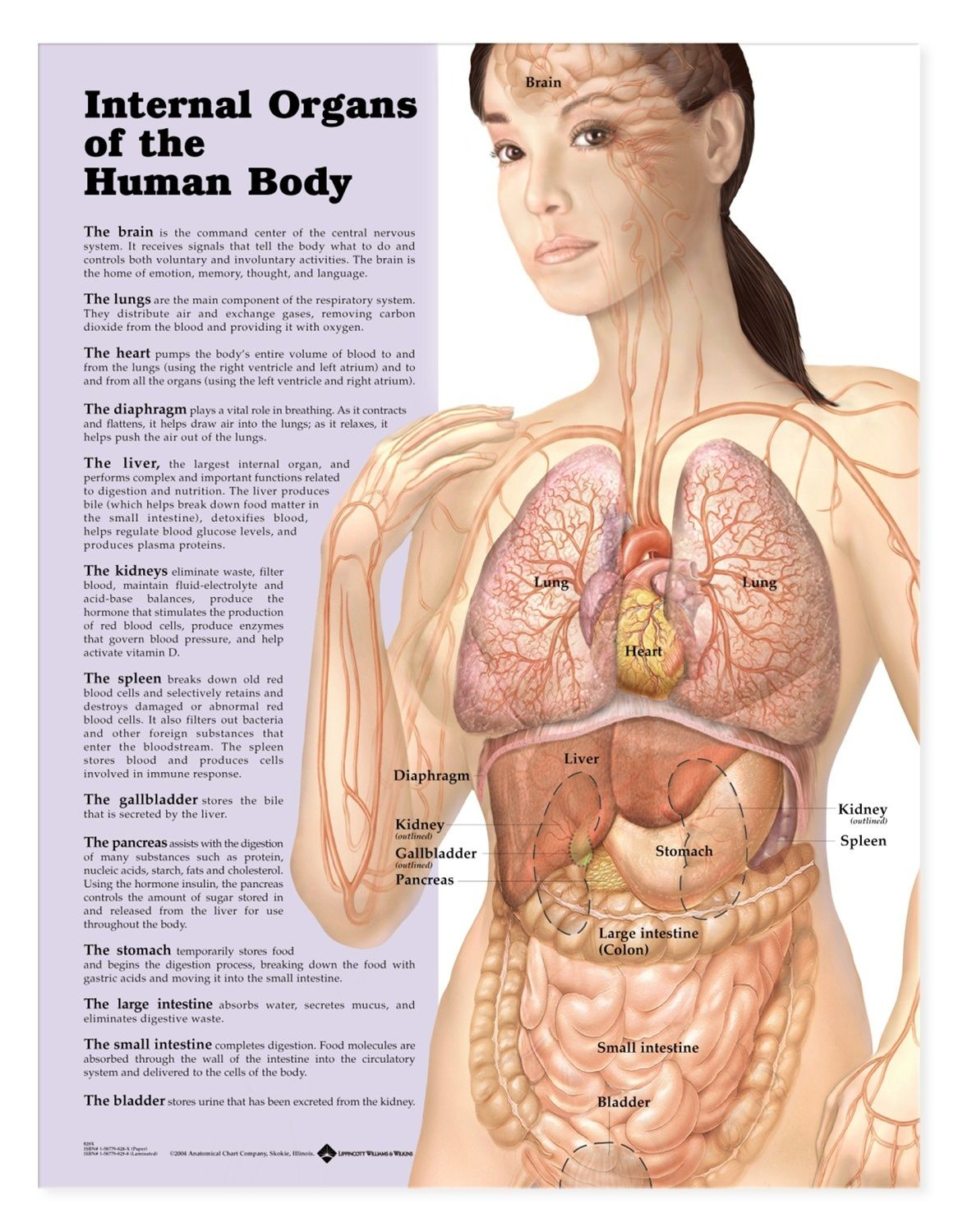 Internal Organs of the Human Body Anatomical Chart | Pinterest ...