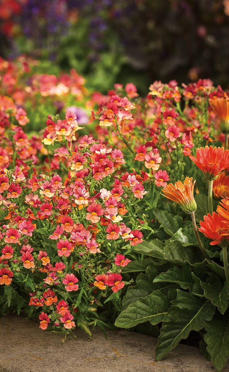 sunsatia blood orange features sweet orange and red bicolor blooms this gorgeous color will spill