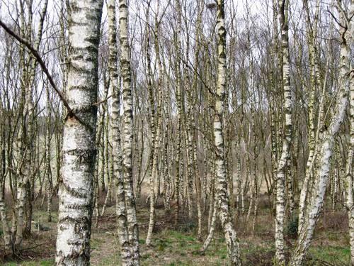 Birketræer