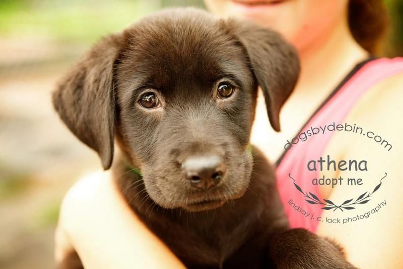 Meet Athena, a Petfinder adoptable Labrador Retriever Dog