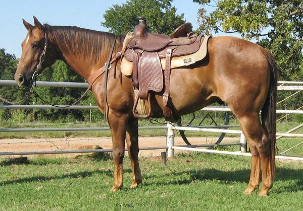 Cowboy Ranch Using,Trail Riding, Sorting Ranchy AQHA Gelding