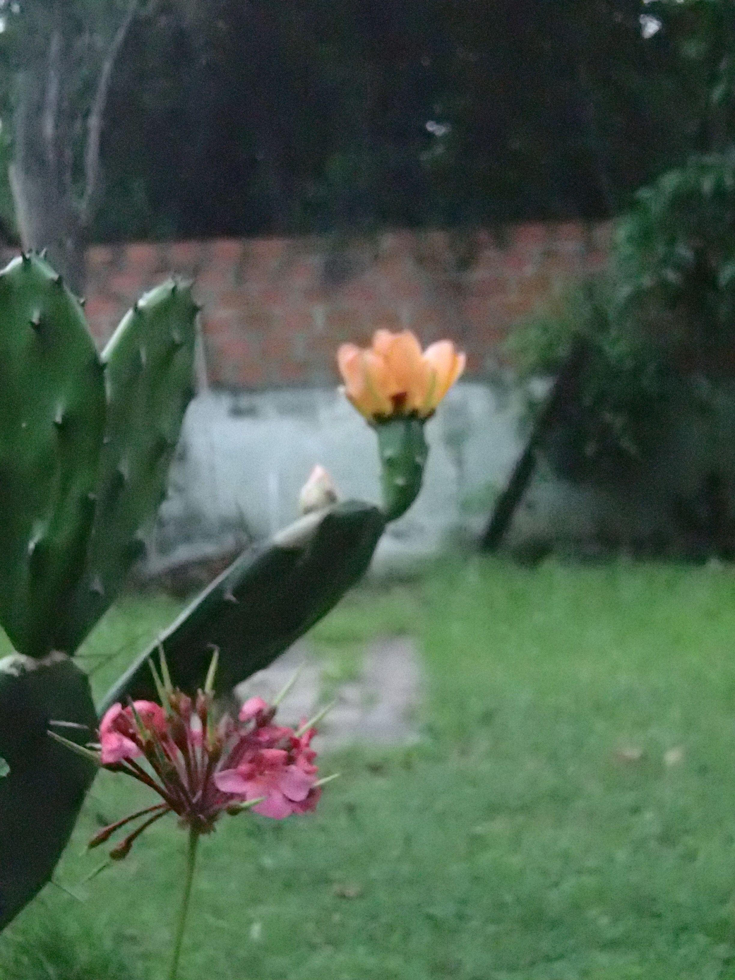 cactus y malv³n Flores del jardn Pinterest
