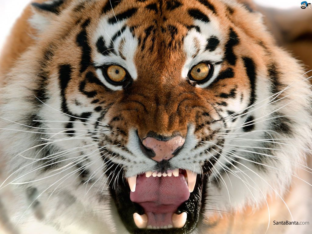 pictures of tigers Google Search (With images) Big