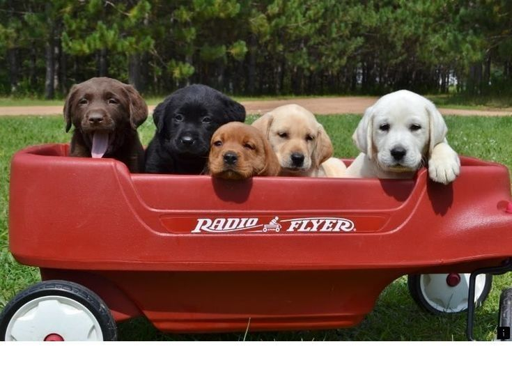 Red golden retriever puppies for sale california