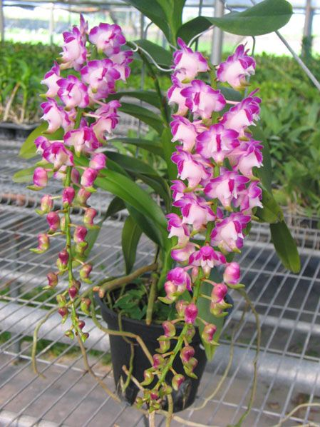 Aerides Lawrenceae A Species Photo From Private Orchid