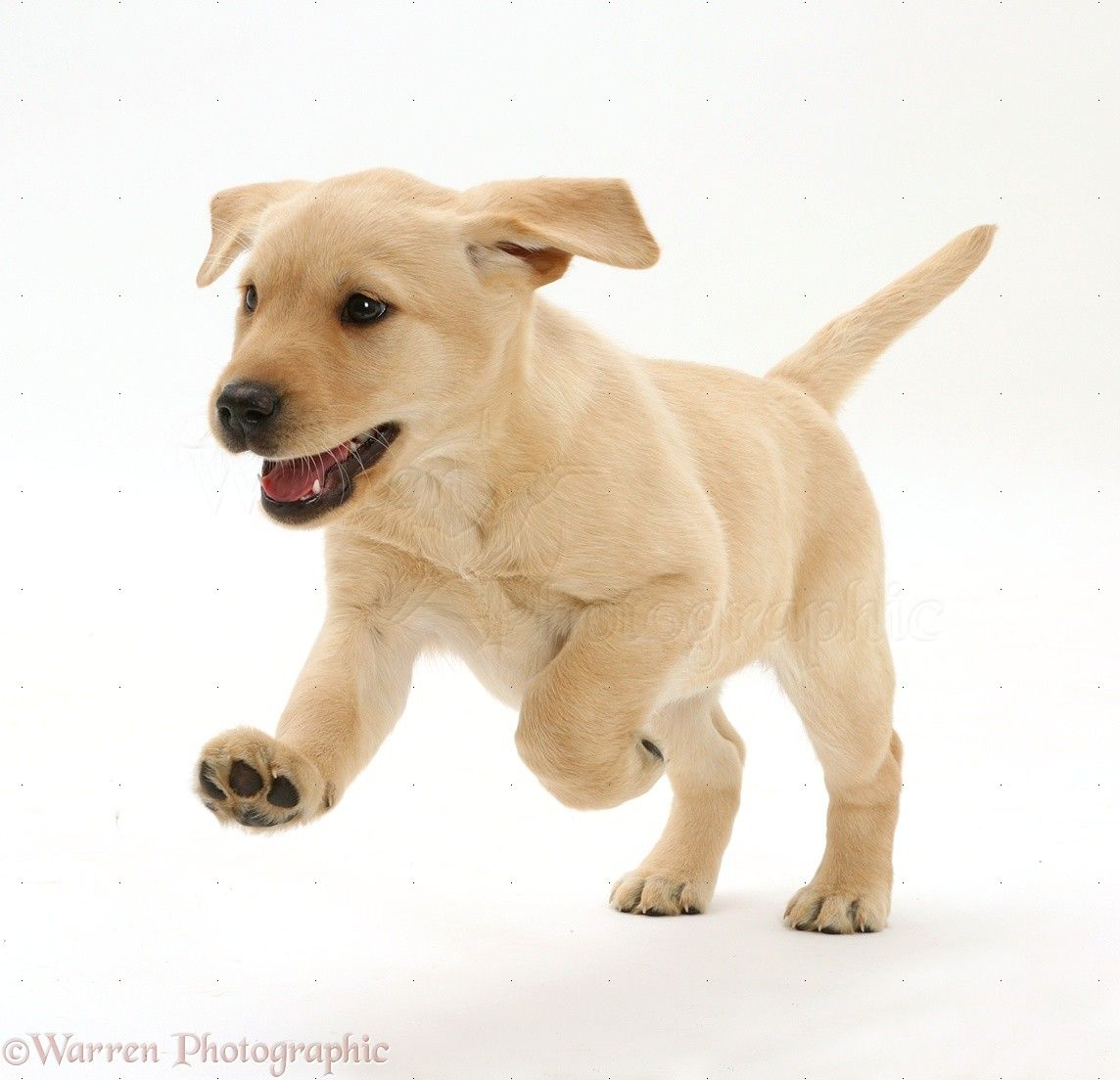 White labrador puppies for sale uk