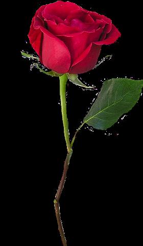وبالت زامك ك ن متفر د ا سكرابز بدون تحميل منتديات دلع المشاعر Beautiful Flowers Images Single Red Rose Flower Images