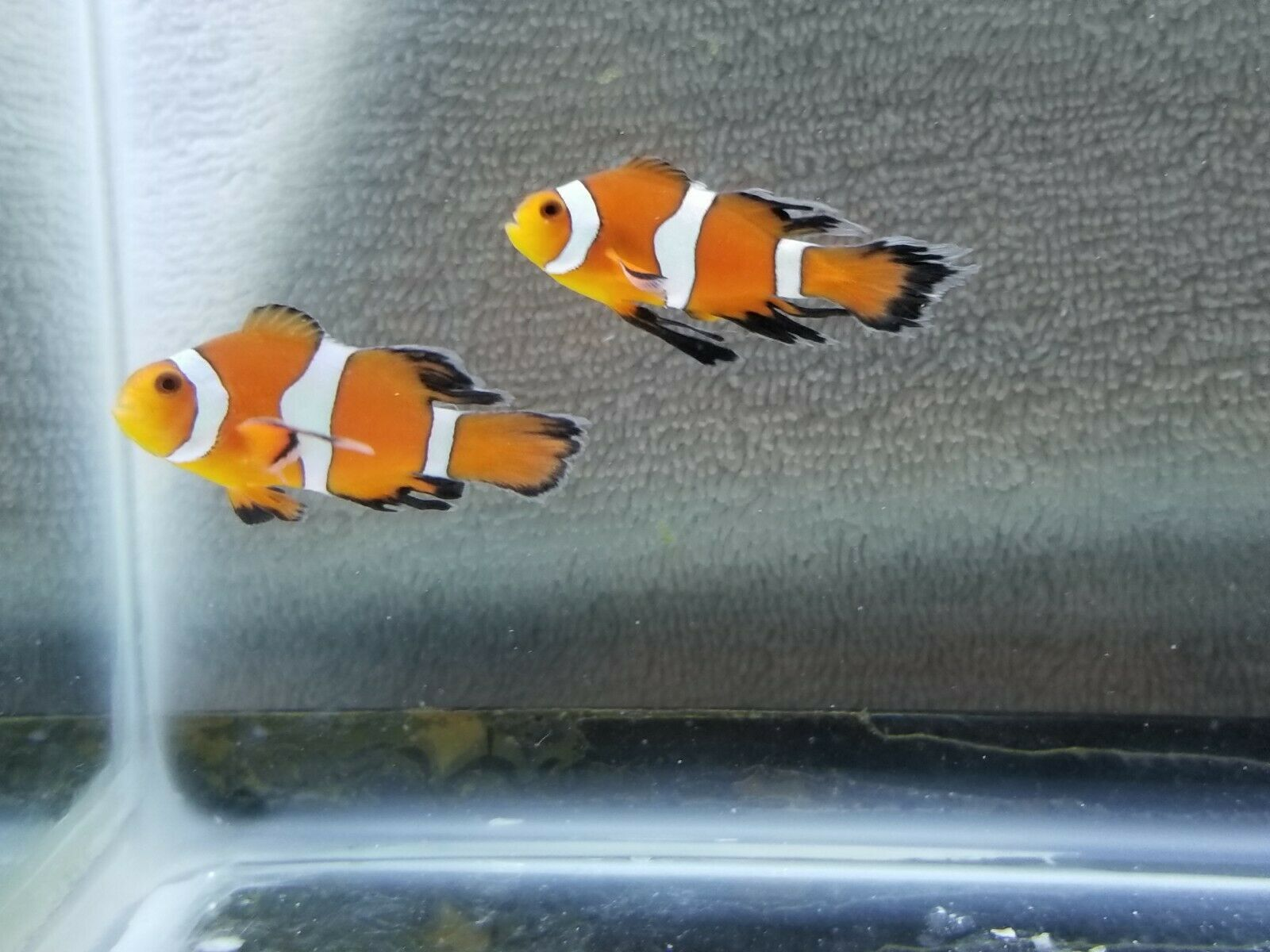Fancy Longfin Clownfish Pair 50 00 One Day Shipping Clown Fish Marine Aquarium Fish Marine Fish For Sale
