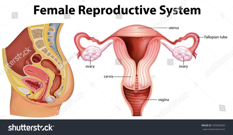 Female Anatomy Reproductive Female Anatomy Reproductive Diagram Showing Female Reproducti Female Reproductive System Reproductive System Human Anatomy Female