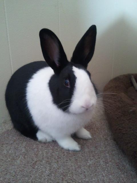 Just Belinda Joanne Cute Bunny Dutch Rabbit Rabbit Breeds