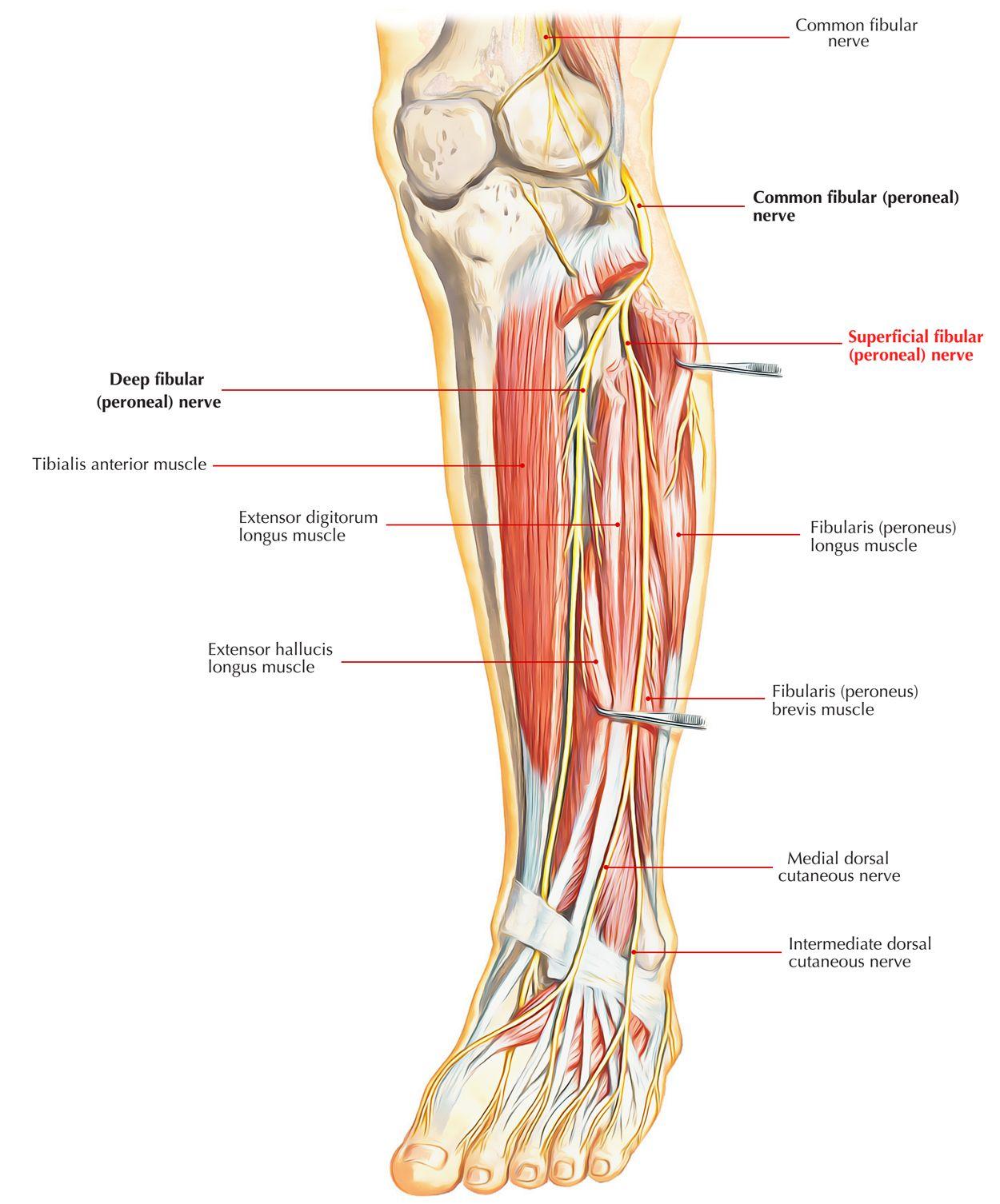 Anterior Leg Musclesnerves Pa Anatomy Pinterest Human Body