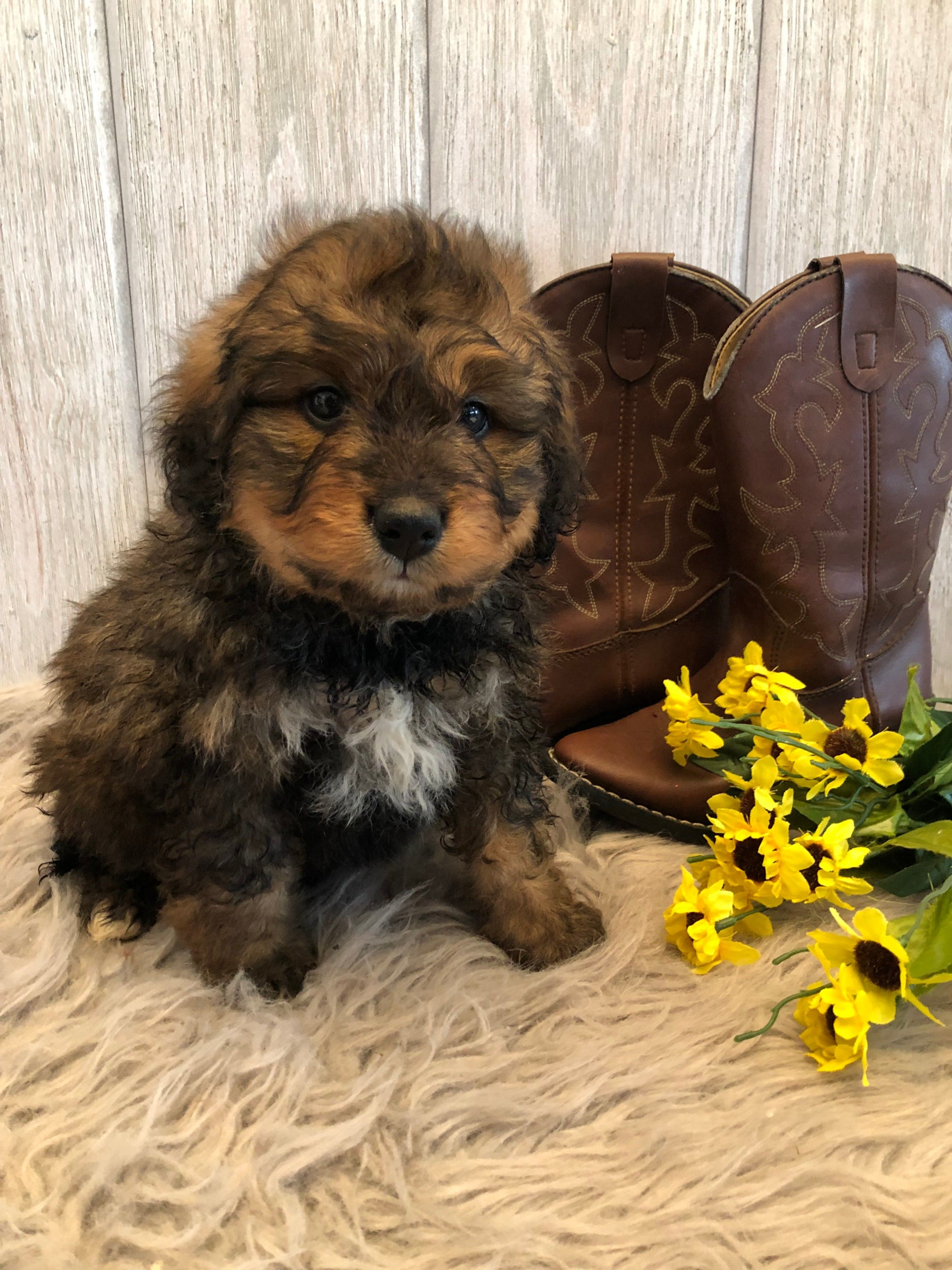 Puppies For Sale Lancaster Puppies Bernedoodle Puppy Bernadoodle Puppy