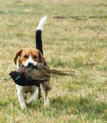 what do hunters prefer to use beagles for