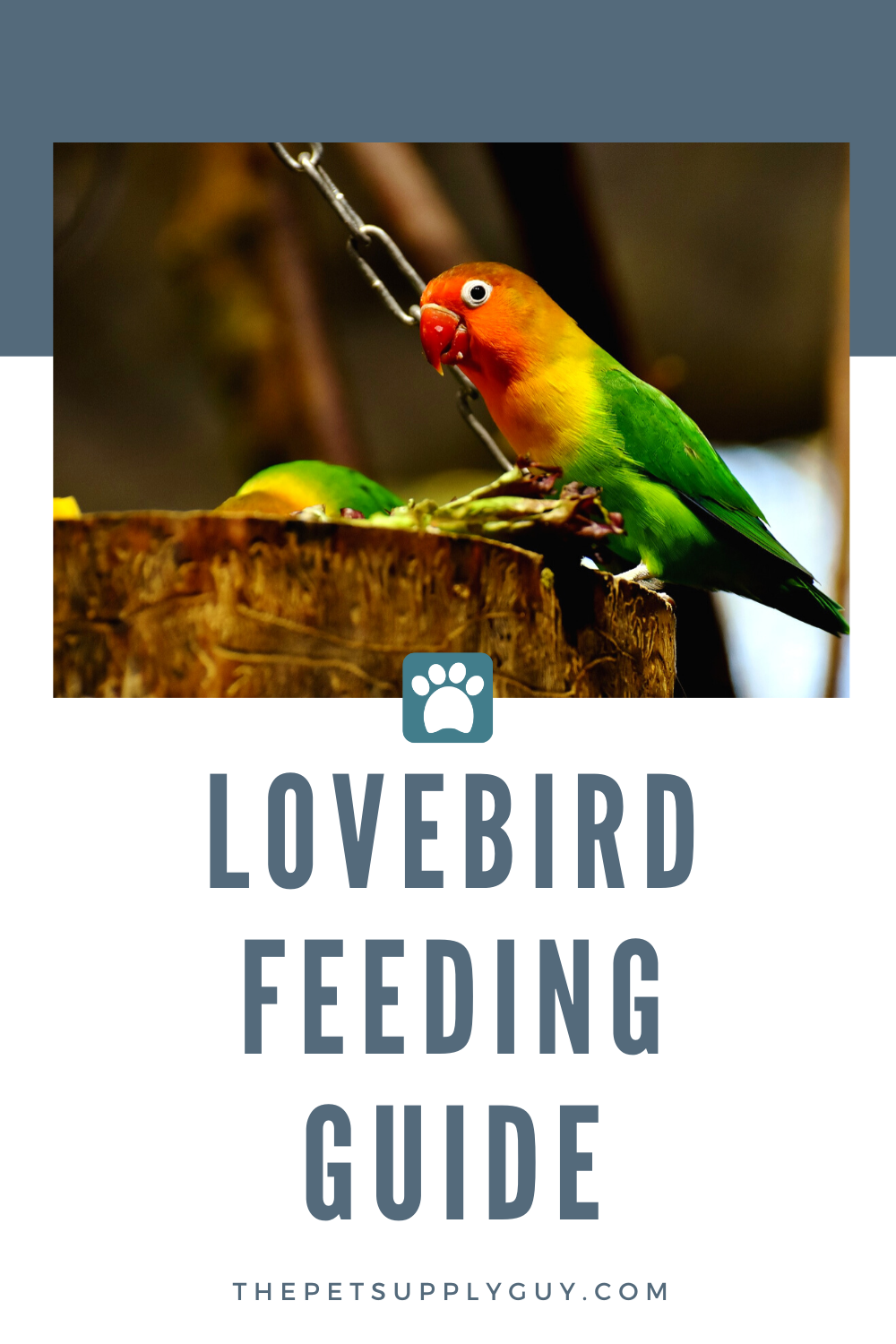 What Lovebirds Eat and Drink Guide Love