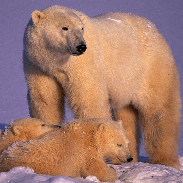 「A female polar bear stands sentinel over her 9 month old cubs.  Her biggest concern is the threat of a male polar bear that might want to harm her cubs.…」