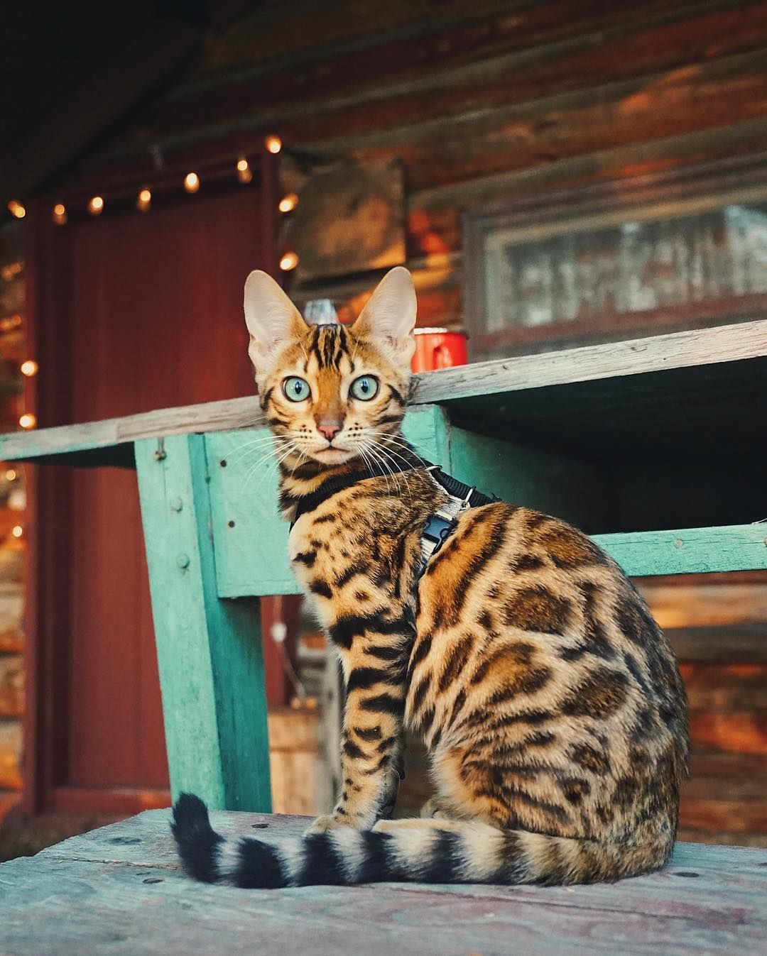 This Adventurous Cat Is The Instagram Model We Need Right Now Meet Suki A Gorgeous Graceful Lovable Cat Bengal Cat Cute Cats Cat Breeds