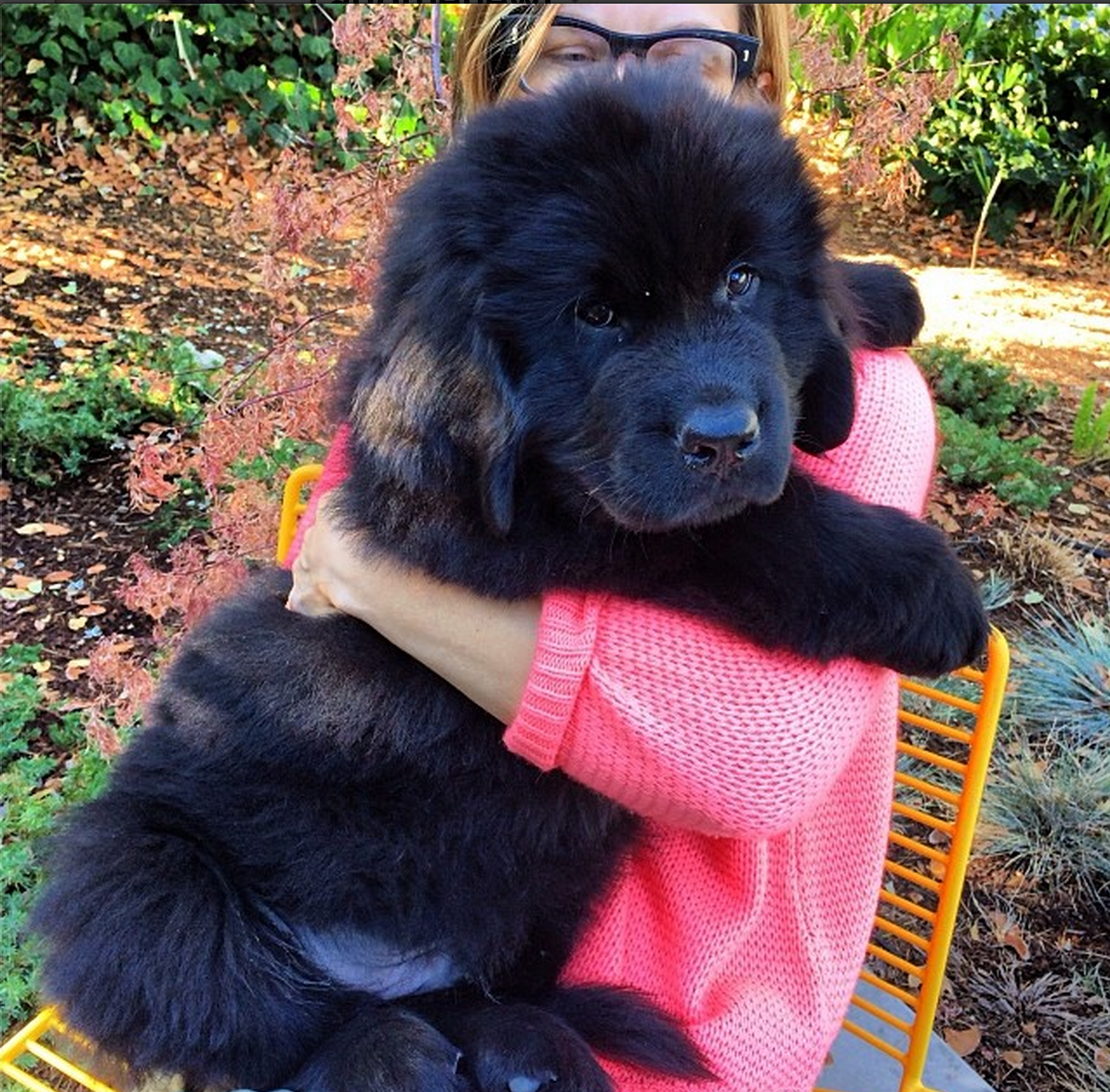 Oliver The Puppy 12 Weeks Carlothenewf Newfoundland Dog Puppy Cute Animals Newfoundland Puppies