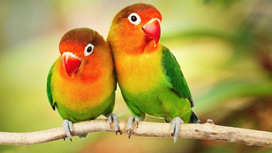 Beautiful Tropical Birds Colorful Parrots Love Birds Parrots On Branch 4k Ultra Hd 1610 Desktop Back Birds Wallpaper Hd Beautiful Bird Wallpaper Tropical Birds