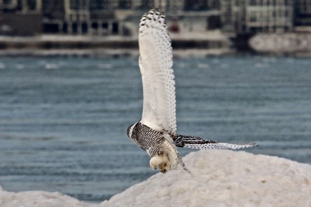 Claws under the snowy curving wings (Snowy Owl, Michigan Shore)