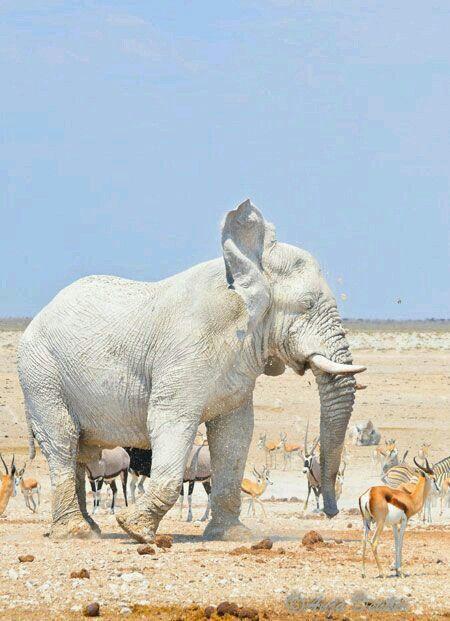 Gajah Putih Afrika Hewan Langka Gajah Hewan Lucu