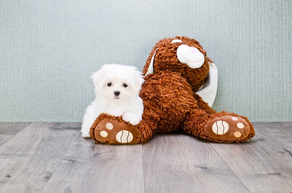 Maltese Puppies For Sale Ohio Maltese Pups Online Maltese