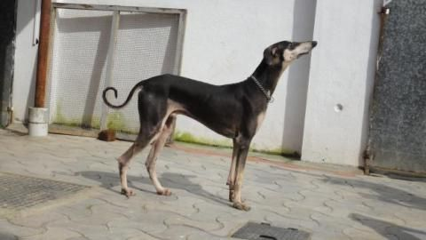 Chippiparai Hound Photo Source Http Chennai Olx In Rare Pure