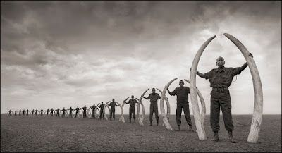 The photo was taken as a deliberate visual echo of Elephants Walking Through Grass, a very different world - a vision of paradise and plenty - taken only a couple of miles away three years earlier.  But instead of a herd of elephants striding across the grassy plains of Africa, here we see only their remains: the tusks of 22 elephants killed at the hands of man within the Amboseli/Tsavo Ecosystem.