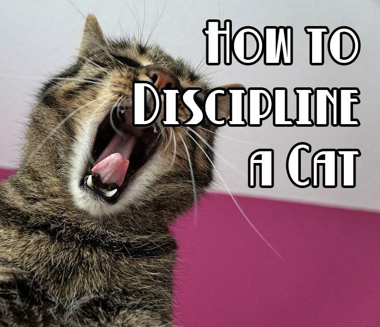 How To Correctly Discipline A Kitten