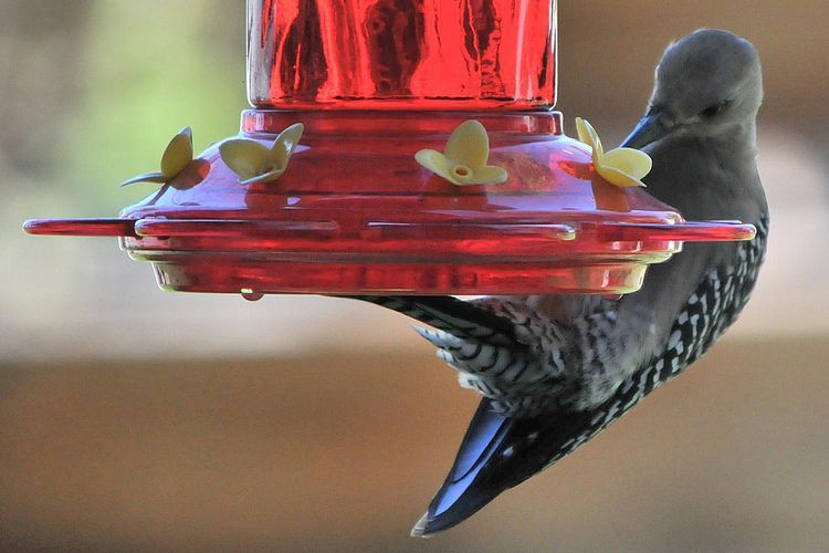 Do Other Birds Drink From Hummingbird Feeders? Yes