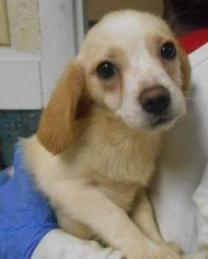 Adopt Tani On Beagle Mix Puppies Pomeranian Mix Beagle Mix