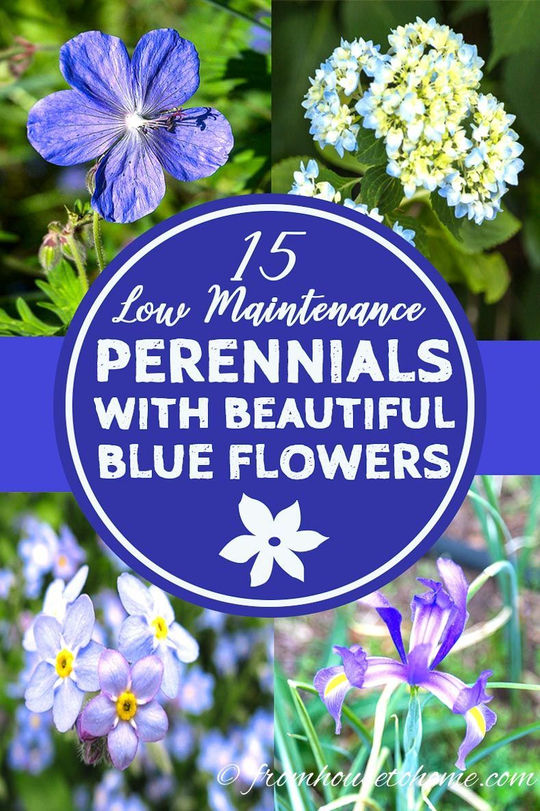 This List Of Low Maintenance Perennials With Beautiful Blue Flowers