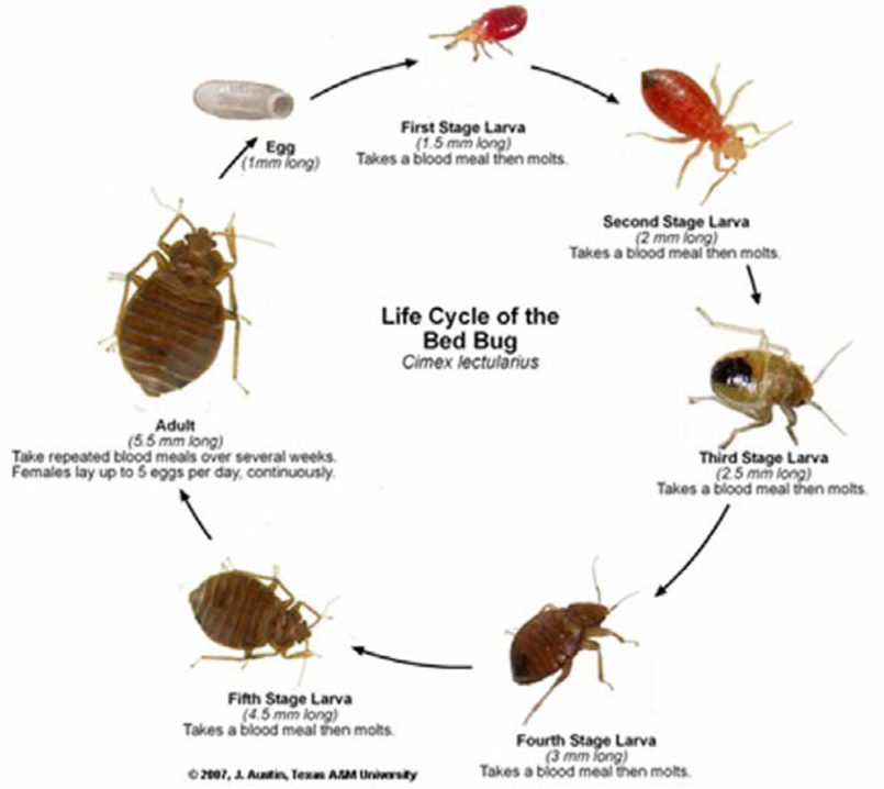 How To Get Rid Of Bed Bugs In 2 Days