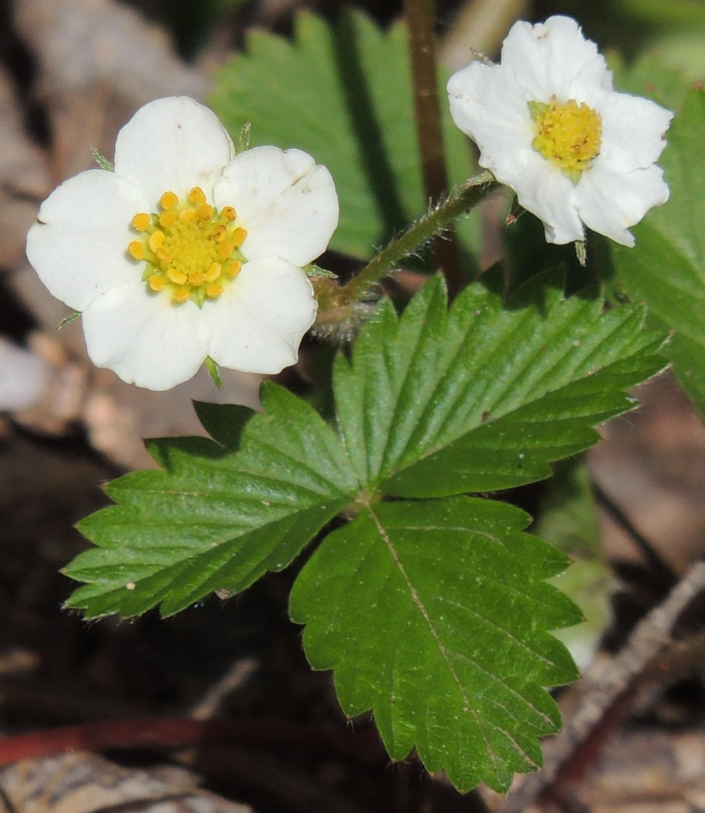Wild Strawberry 10000ft CO [OC]