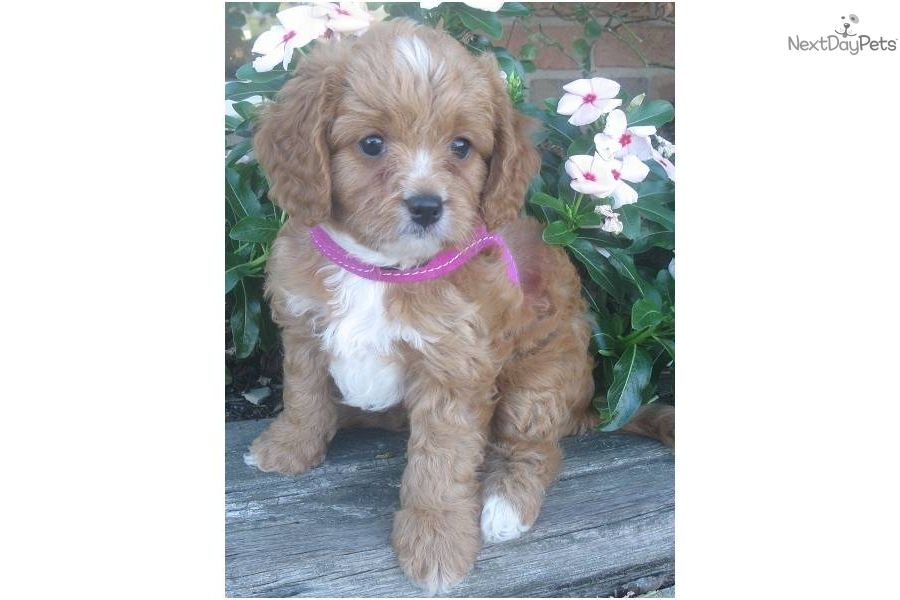 Dixie Cavapoo puppy for sale near Tuscarawas Co, Ohio