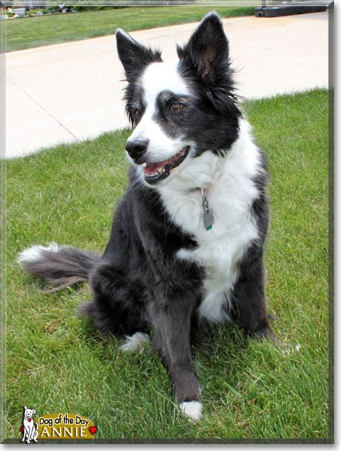 Pin By Dog Of The Day On Collies Collie Border Collie Rough Collie