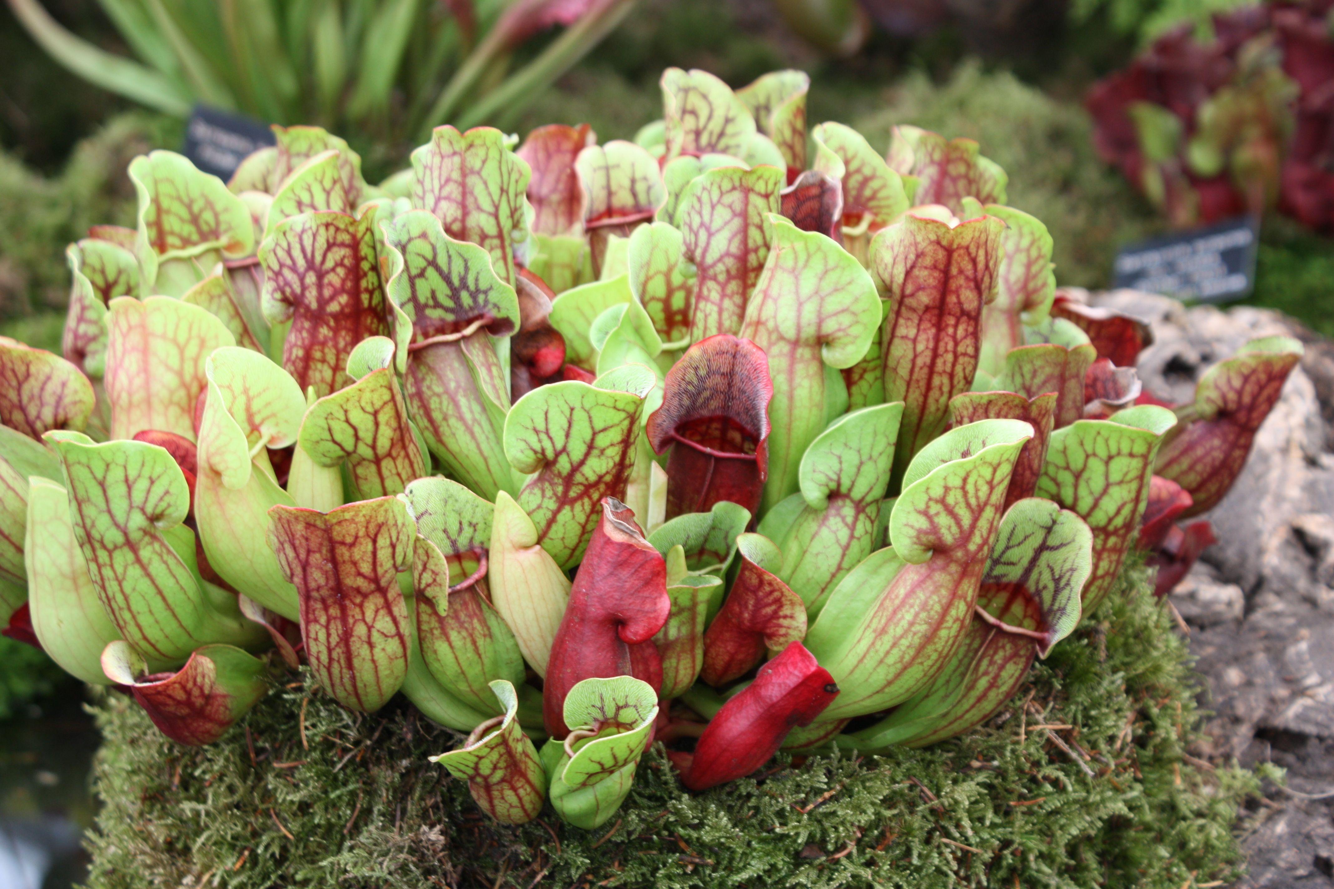 Carnivorous Plants « Summerhill Garden Centre Essex