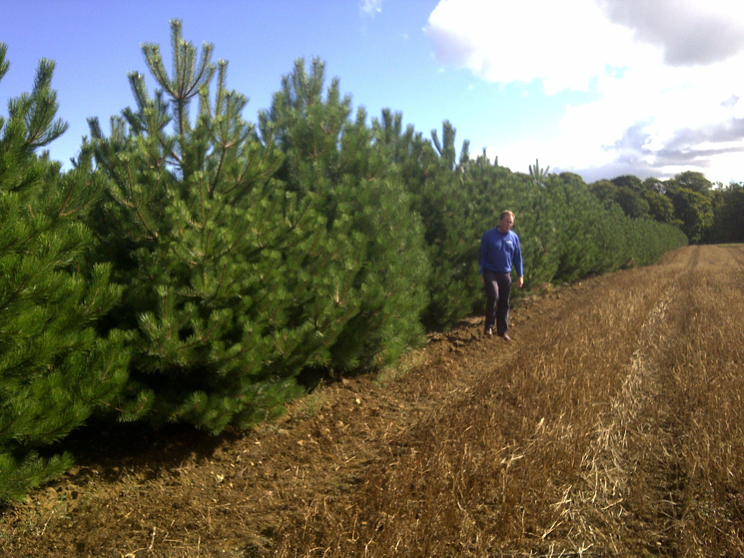 Varities of japanese black pine