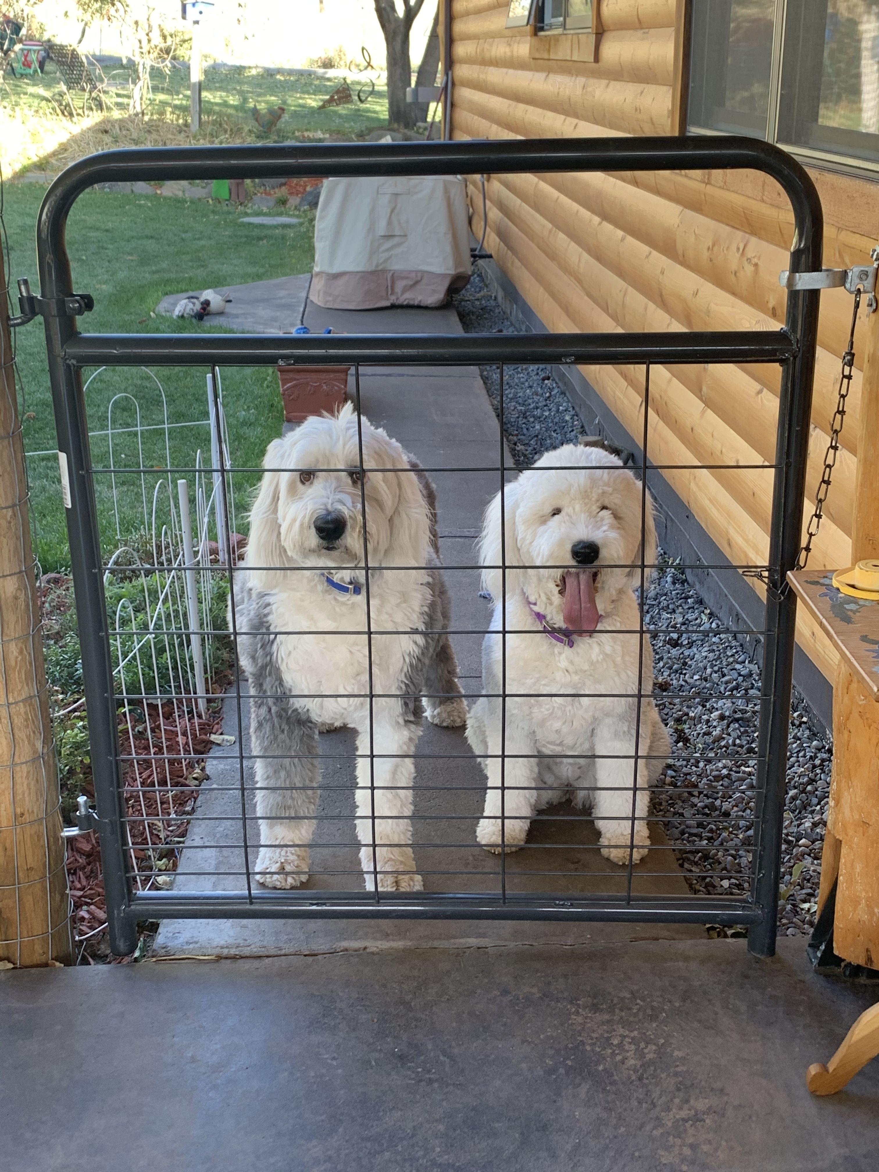 Our sheepdogs old english sheepdog english sheepdog
