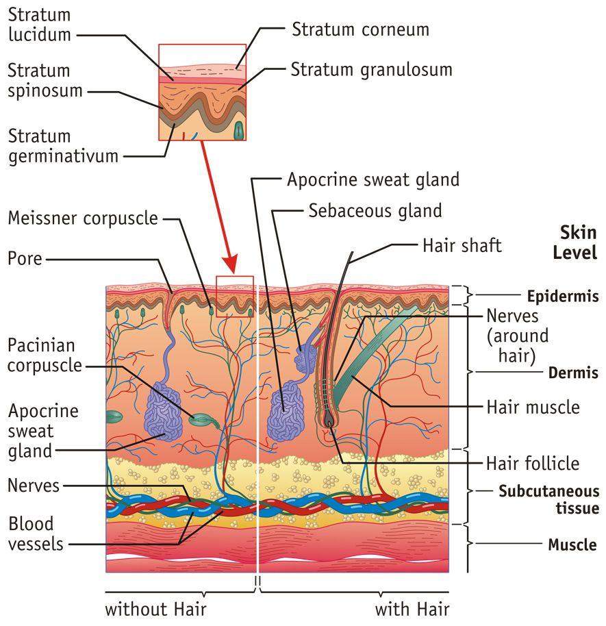 skin anatomy human body anatomy anatomy study science biology medical science  [ 885 x 914 Pixel ]