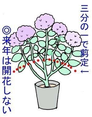 アジサイの剪定方法 アジサイの育て方 Net 花の育て方 紫陽花 剪定 剪定