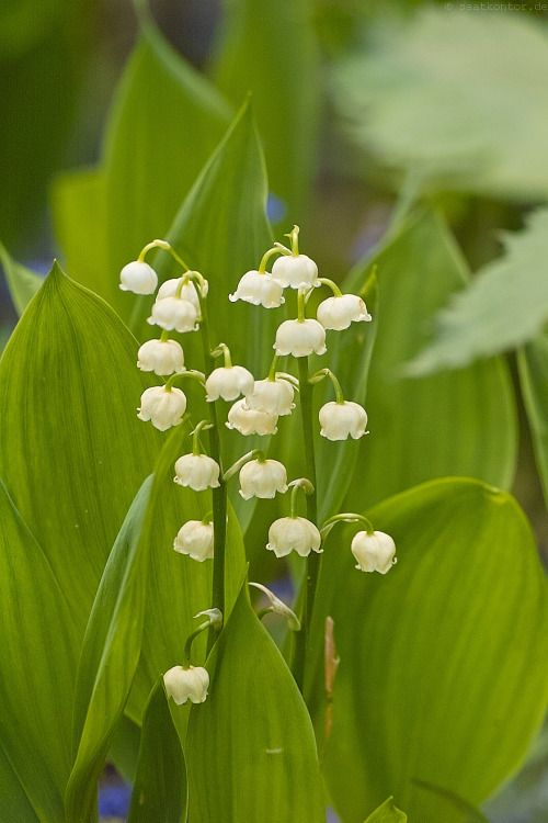 Outdoormagic Lily Of The Valley My Secret Garden Bloom