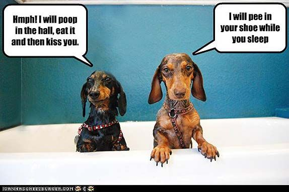 10 Hilarious And True Dachshund Memes That Will Totally Make Your