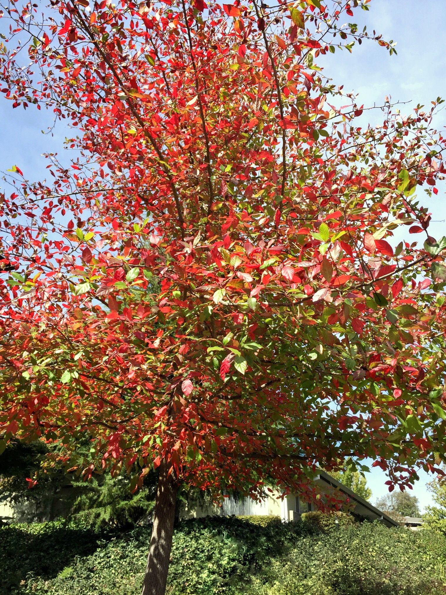 Tupelo (aka Black Gum or Sour Gum) tree 9/29/2017