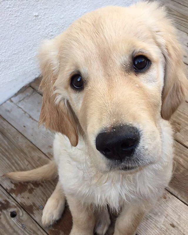 Duma Golden Retriever Pup Classic Look Animals Beautiful