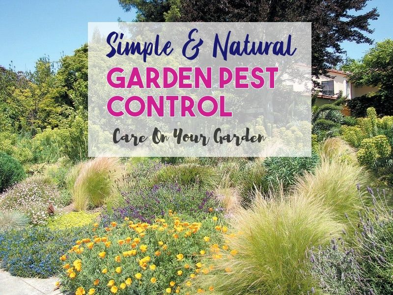 Safe And Effective Ways Of Natural Pest Control Natural Pest Control Garden Pests Natural Garden