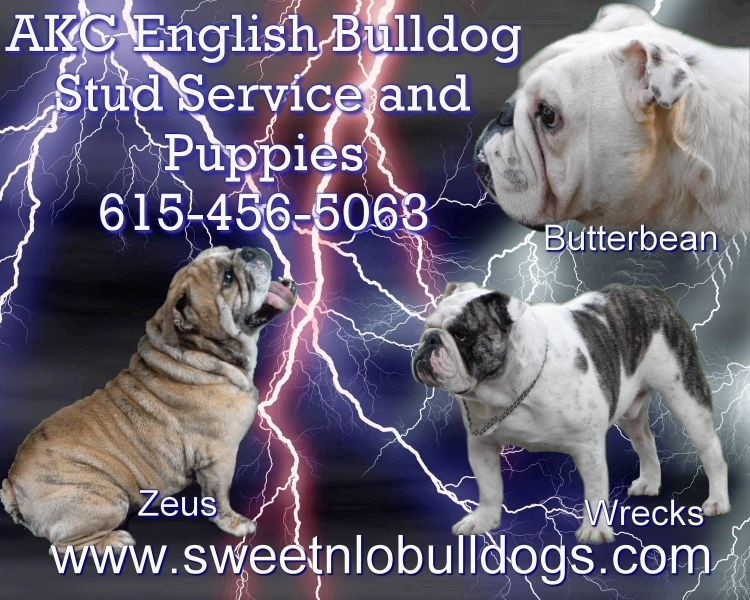 Akc English Bulldog Puppies For Sale Tn Tennessee Akc Bulldogs